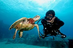 In Hawaii you can expect to dive with Green sea turtles o... by Stuart Ganz